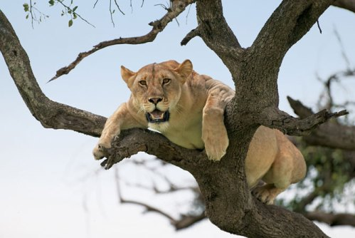 lion_tree2