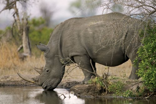 rhino_water_large